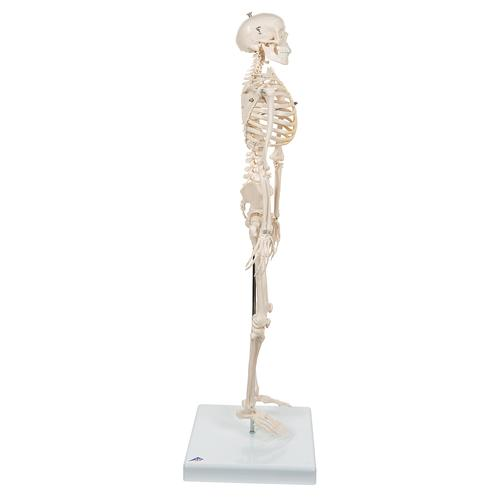 소형 전신골격 모형