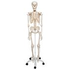 Skeleton Stan A10 on metal stand with 5 casters