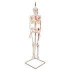 "미니 전신골격 ""Shorty""