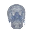 Transparent Classic Human Skull Model, 3 part, 1020164 [A20/T], 두개골 모형