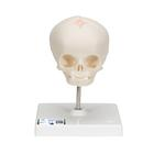 임신 30주째 태아 두개골 모형 Foetal Skull Model, natural cast, 30th week of pregnancy, on stand - 3B Smart Anatomy, 1000058 [A26], 두개골 모형