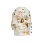 치아구조 갖춘 두개골 모형, 10파트 Deluxe Human Demonstration Dental Skull Model, 10 part - 3B Smart Anatomy, 1000059 [A27], 두개골 모형