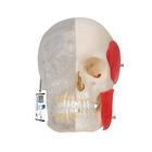 BONElike™ Human Skull Model, Half transparent and Half Bony, 8 part - 3B Smart Anatomy, 1000063 [A282], 두개골 모형