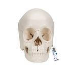 Beauchene Adult Human Skull Model - Bone Colored Version, 22 part - 3B Smart Anatomy, 1000068 [A290], 두개골 모형