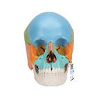 성인 두개골 교육용 채색 모형, 22파트