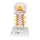 경추 모형 Cervical Spinal Column - 3B Smart Anatomy, 1000144 [A72], 척추뼈 모형