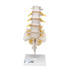 요추모형 Lumbar Spinal Column - 3B Smart Anatomy, 1000146 [A74], 척추뼈 모형