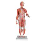 전신근육 모형