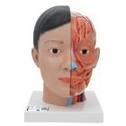Asian Deluxe Head with Neck, 4 part, 1000215 [C06], 머리 모형