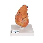 Classic Heart with Thymus, 3 part - 3B Smart Anatomy, 1000265 [G08/1], 심장 및 순환기 모형