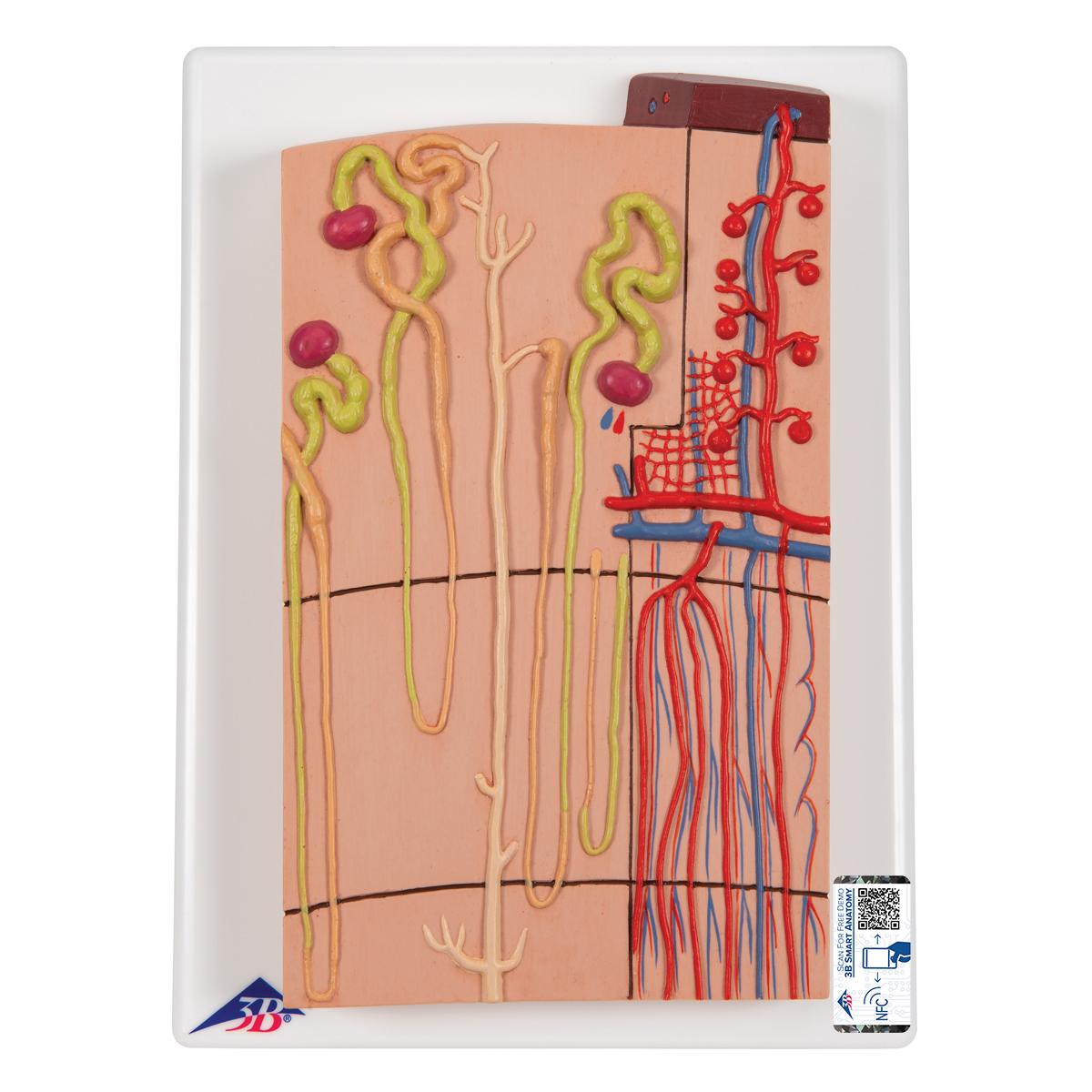 Anatomical Teaching Model - Plastic Anatomy Models - Renal System ...