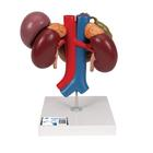 신장 과 상복부의 기관 후면 모형
