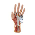 Internal Hand Structure Model, 3 part - 3B Smart Anatomy, 1000349 [M18], 팔 및 손 골격 모형