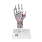 Hand Skeleton Model with Ligaments and Muscles,M33/1