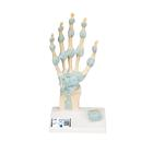 Hand Skeleton Model with Ligaments and Carpal Tunnel, 1000357 [M33], 관절 모형