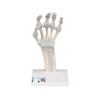 Hand skeleton with elastic ligaments, 1013683 [M36], 팔 및 손 골격 모형