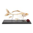 Carp Skeleton (Cyprinus carpio), Specimen, 1020962 [T300011], 어류