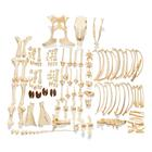 Bovine skeleton (Bos taurus), without horns, disarticulated, 1020975 [T300121w/oU], 농장 동물