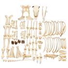 Bovine skeleton (Bos taurus), with horns, disarticulated, 1020976 [T300121wU], 농장 동물