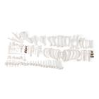 Pig skeleton (Sus scrofa domesticus), f, disarticulated, 1020997 [T300131FU], 농장 동물