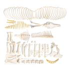Horse skeleton (Equus ferus caballus), male, disarticulated, 1021004 [T300141fU], 농장 동물