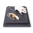 Mouse and Mouse Skeleton (Mus musculus) in Display Case, Specimens, 1021039 [T310011], 작은 동물