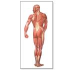 The Human Musculature Chart, rear, 4006516 [V2005U], 근육