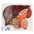 간, 담낭, 이자, 십이지장 모형
