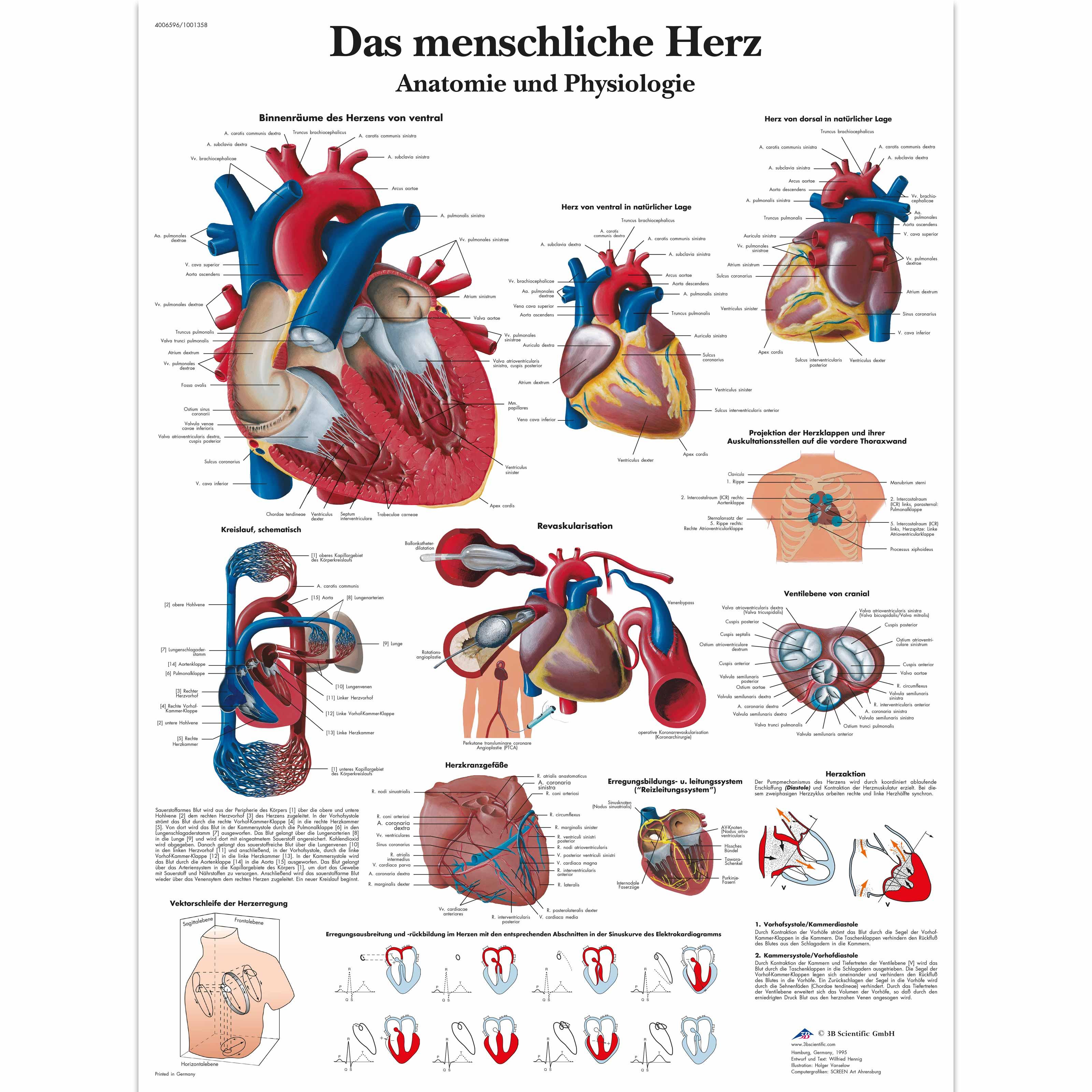 Das menschliche Herz - Anatomie und Physiologie - 1001358 - VR0334L ...