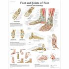 Foot and Joints of Foot Chart - Anatomy and Pathology, 4006662 [VR1176UU], 골격계
