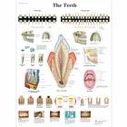 The Teeth Chart, 4006672 [VR1263UU], 치아