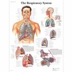 The Respiratory System Chart,VR1322UU