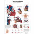 The Human Heart Chart - Anatomy and Physiology, 4006679 [VR1334UU], 심장 건강 및 운동 교육