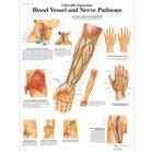 Clinically Important Blood Vessel and Nerve Pathways Chart,VR1359UU