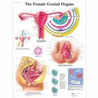 The Female Genital Organs Chart, 4006701 [VR1532UU], 부인과